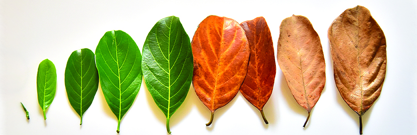 leaves through all stages of life